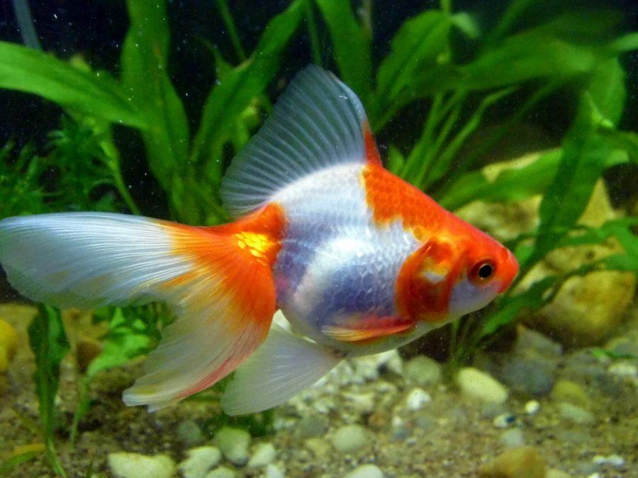 Le poisson rouge Ryukin