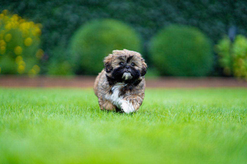 Shih-Tzu en train de courir dans l'herbe