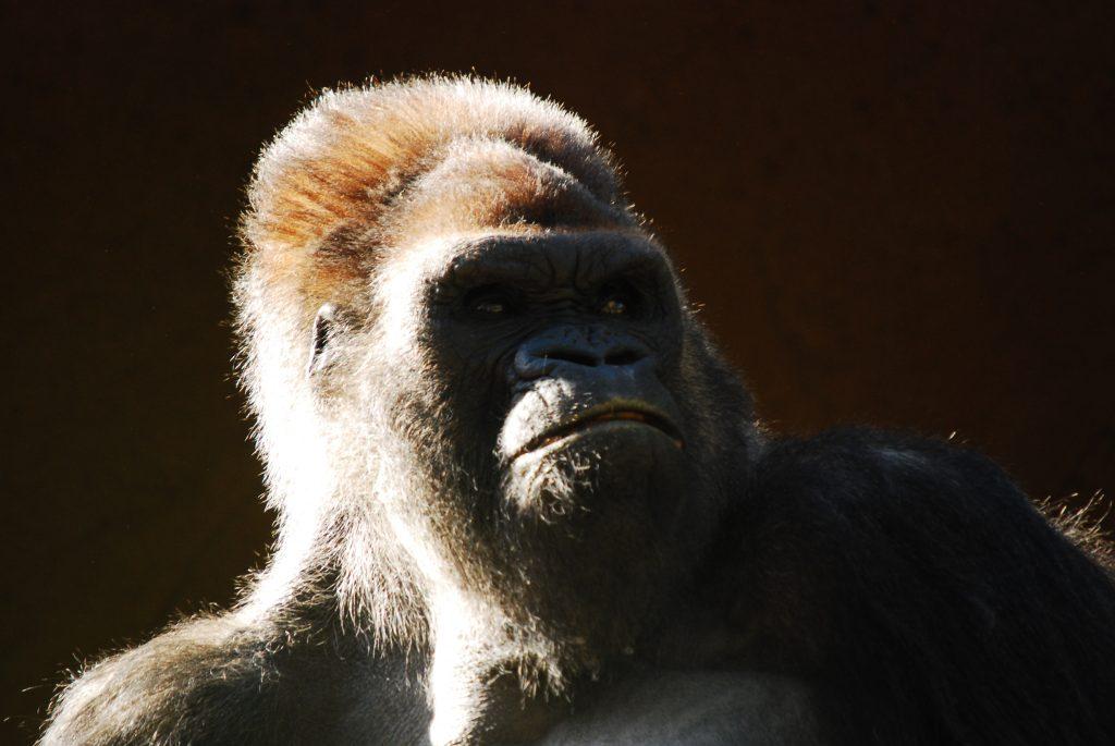 Photo de Silhouette d'un singe