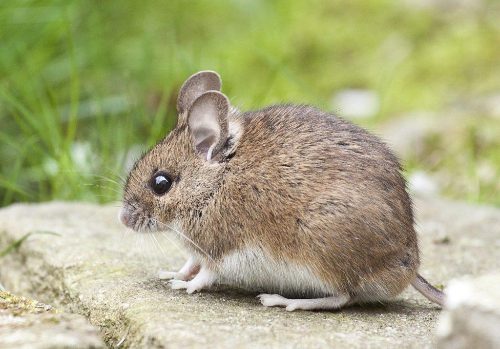 Photo de souris