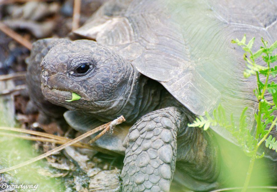 Ma tortue attend des bébés, que faire ?