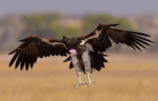 Les 10 oiseaux rapaces les plus dangereux monde