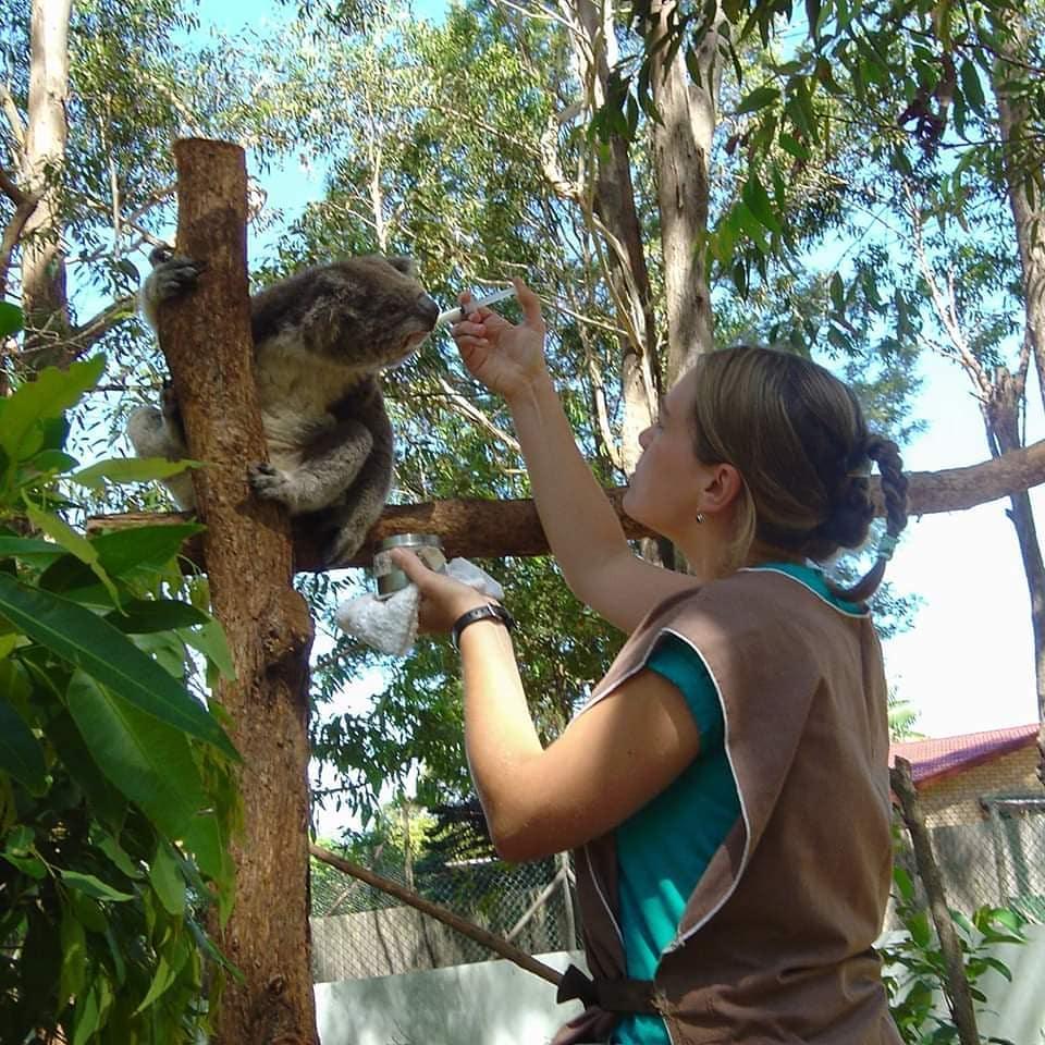 volontaire koalas